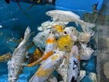 Pesci affamati fotografia stock libera da diritti