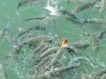 Pesci affamati che turbinano nel combattimento dell'acqua di mare per l'alimento fotografie stock
