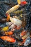 Pesci affamati di koi Immagine Stock