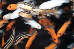 Pesci africani dell'acquario delle cichlidae Immagine Stock