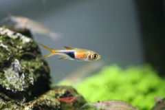 Pesci al neon - pesci tropicali Immagine Stock Libera da Diritti