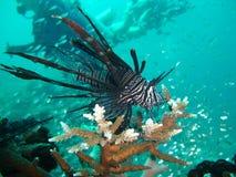 Pesci & operatori subacquei del leone Fotografia Stock Libera da Diritti