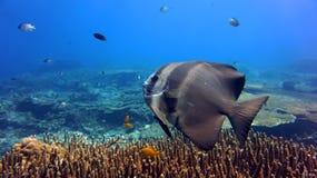 Pesci angelo di Longfin fotografia stock
