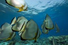 Pesci angelo ed oceano fotografie stock libere da diritti