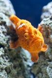 Pesci arancioni Immagini Stock