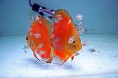 Pesci arancioni del Discus con i bambini Fotografia Stock Libera da Diritti