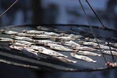 Pesci asciutti Fotografia Stock Libera da Diritti