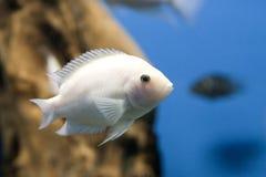 Pesci bianchi Immagini Stock