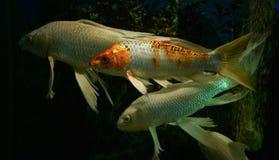 Pesci bianchi di Koi fotografie stock libere da diritti