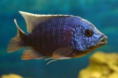 Pesci blu Fotografia Stock