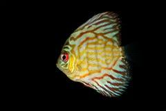 Pesci blu del discus Fotografia Stock