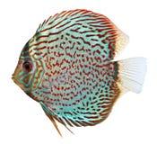 Pesci blu del Discus Immagine Stock