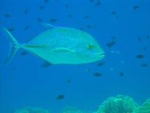 Pesci blu del Jack dell'aletta Fotografie Stock Libere da Diritti
