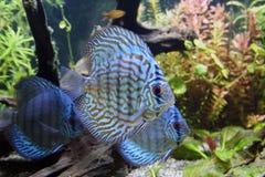 Pesci blu dell'acquario del Discus Fotografia Stock