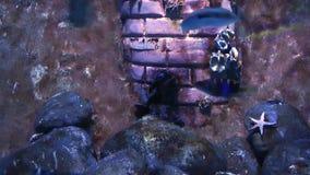 Pesci blu di avventura in acquario stock footage