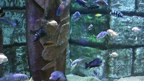 Pesci blu di avventura in acquario video d archivio
