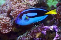 Pesci blu di linguetta immagini stock