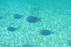 Pesci blu di linguetta Fotografie Stock