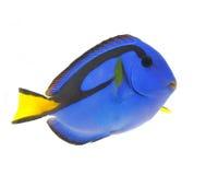 Pesci blu di linguetta isolati su bianco Fotografia Stock