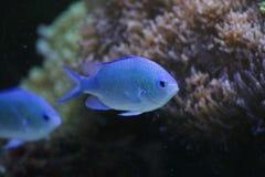 Pesci blu di Saltwaer Fotografie Stock Libere da Diritti