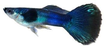Pesci blu scuro del guppy. Reticulata di Poecilia Immagini Stock Libere da Diritti
