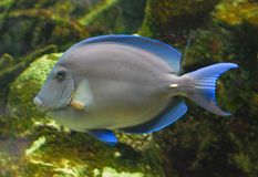 Pesci blu tropicali Fotografia Stock