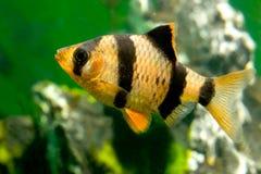 Pesci Capoeta Tetrazona dell'acquario Fotografia Stock Libera da Diritti