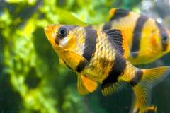 Pesci Capoeta Tetrazona dell'acquario Immagini Stock Libere da Diritti