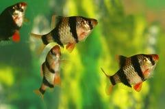 Pesci Capoeta Tetrazona dell'acquario Immagine Stock