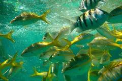 Pesci caraibici Immagini Stock Libere da Diritti