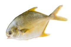 Pesci castagna immagine stock