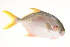 Pesci castagna dorati fotografia stock libera da diritti