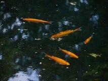Pesci che nuotano lago fotografie stock