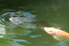 Pesci che nuotano nel lago fotografie stock libere da diritti