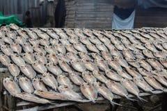Pesci che si asciugano al sole Fotografia Stock Libera da Diritti