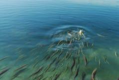 Pesci commoventi Fotografie Stock Libere da Diritti