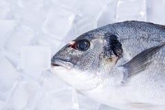 Pesci con ghiaccio Fotografie Stock Libere da Diritti