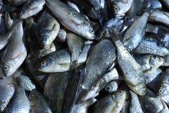 Pesci crudi freschi Fotografie Stock Libere da Diritti