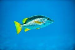 Pesci d'argento tropicali nel mare caraibico dell'azzurro della scogliera Immagini Stock