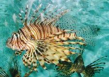 Pesci decorativi Immagini Stock