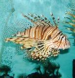 Pesci decorativi Fotografie Stock