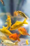 Pesci decorativi variopinti Immagine Stock