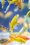 Pesci decorativi variopinti Fotografia Stock Libera da Diritti