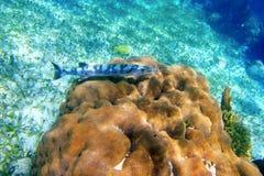 Pesci del Barracuda sopra la bobina di corallo in Riviera Mayan fotografia stock libera da diritti