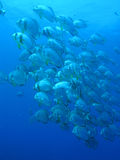 Pesci del blocco - in profondità azzurro Fotografia Stock Libera da Diritti