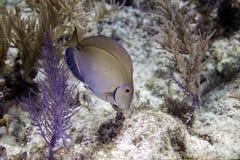 Pesci del chirurgo Fotografia Stock Libera da Diritti