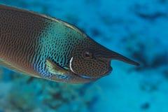 Pesci del chirurgo (brevirostris) di Naso - Mar Rosso Immagini Stock Libere da Diritti