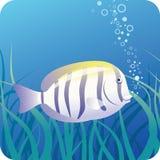 Pesci del chirurgo sotto acqua Fotografia Stock