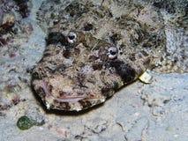 Pesci del coccodrillo sul fondo del mare Immagine Stock