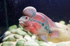 Pesci del corno del fiore Fotografie Stock Libere da Diritti
